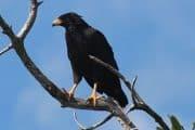 hawk falcone